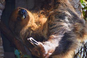 Sloth, San Diego Zoo