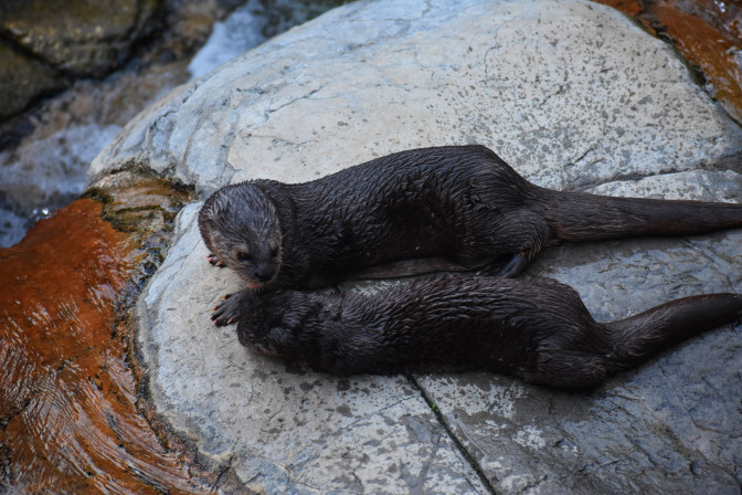 Otters, San Diego Zoo