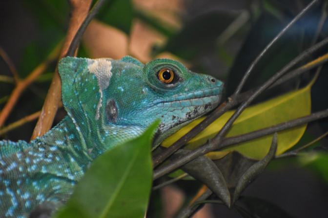 chameleon, San Diego Zoo