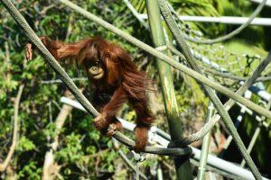 orangutan, San Diego Zoo