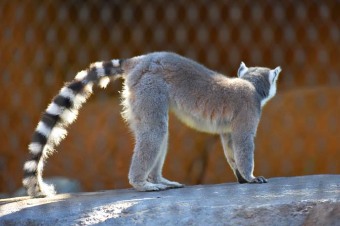 Ring-tailed lemur, Africa Rocks Exhibit, San Diego Zoo