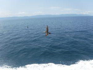 frigate birds near Puerto Vallarta