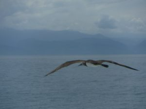 frigate birds near Puerto Vallarta