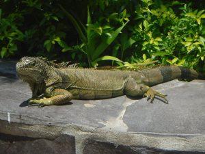 Iguana, Puerto Vallarta