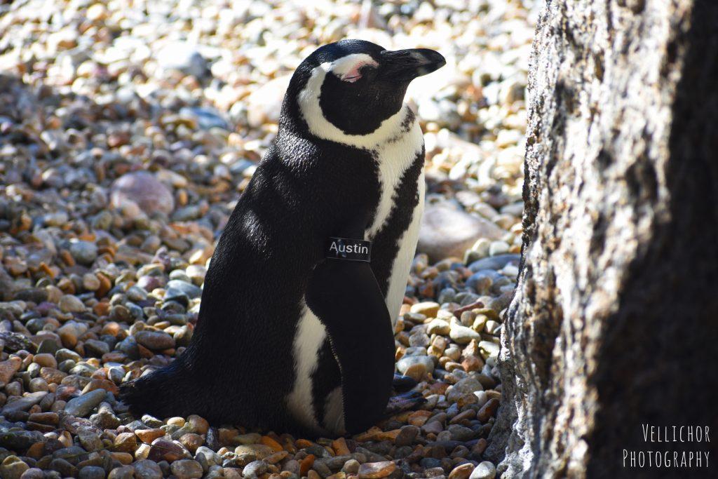 African penguin, Africa Rocks Exhibit, San Diego Zoo