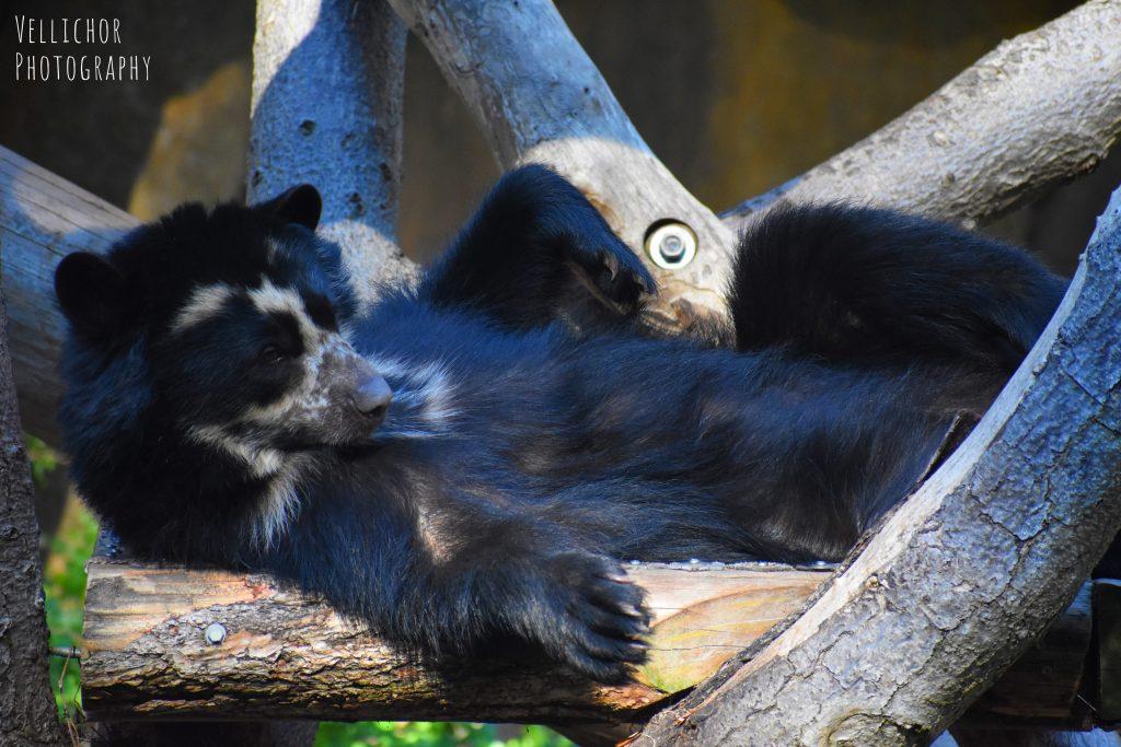Bornean sun bear, San Diego Zoo