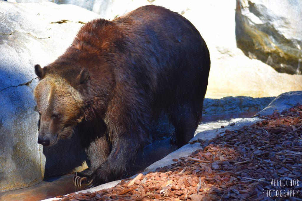 brown bear, San Diego Zoo